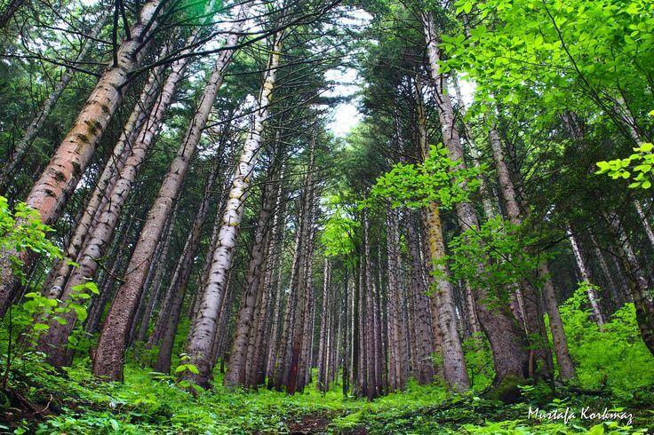 اشجار مرتفعات السلطان مراد